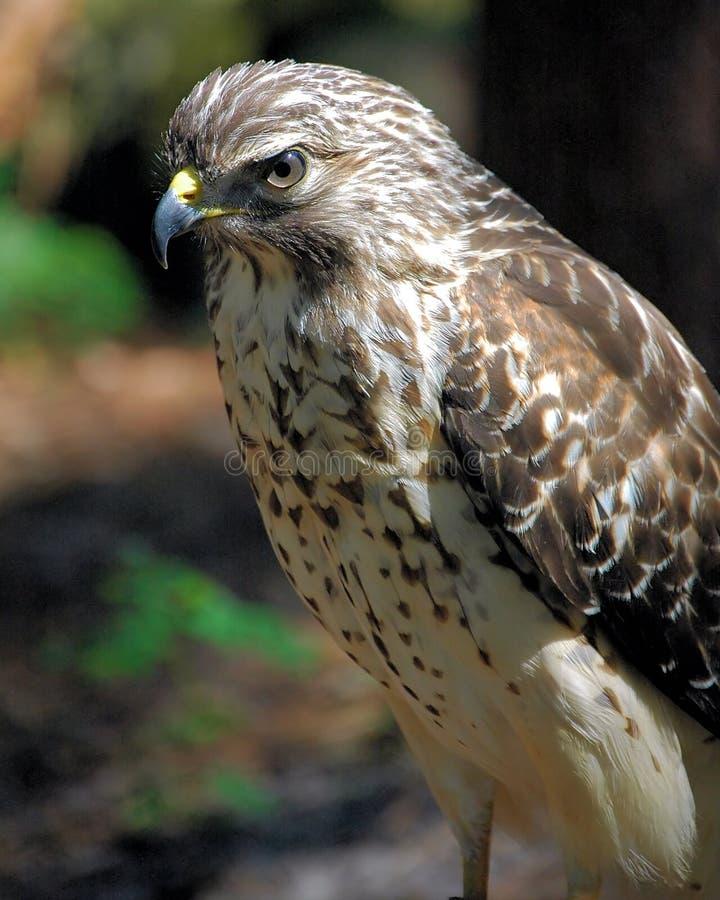 Roter geschulterter Falke lizenzfreies stockbild