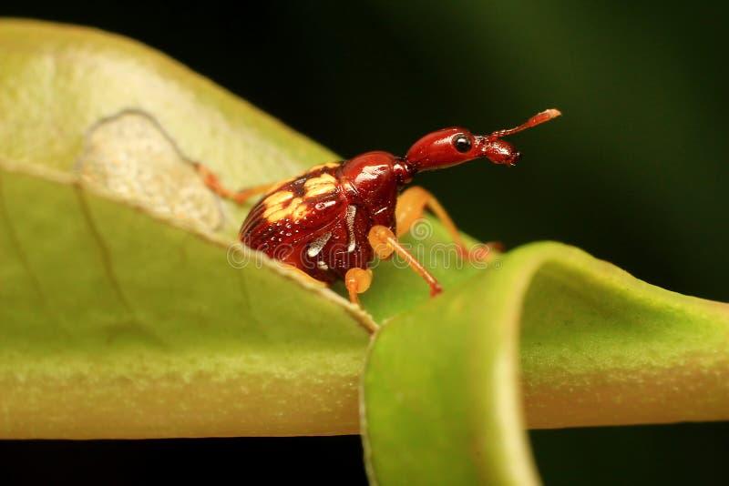 Roter Giraffen-Rüsselkäfer-oder Blatt-Rollen-Rüsselkäfer stockbild