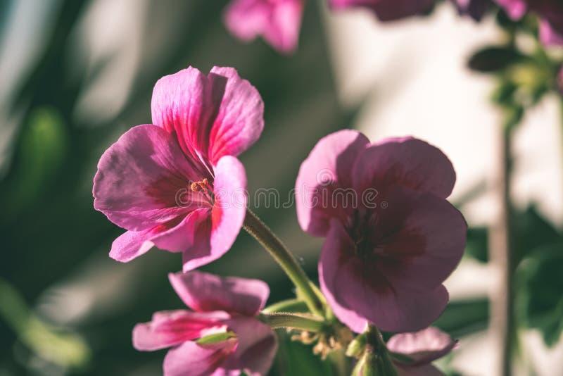 roter grüner Effekt der Mohnblumenblumen- und -blütenim frühjahr - Weinlese lizenzfreie stockbilder