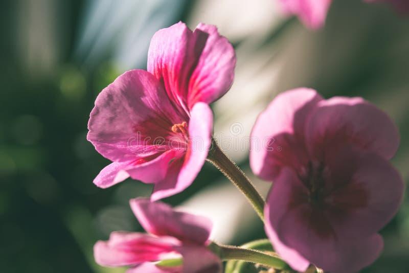 roter grüner Effekt der Mohnblumenblumen- und -blütenim frühjahr - Weinlese stockfotografie
