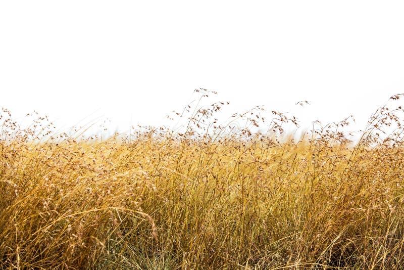 Roter Hafer-Gras lokalisiert lizenzfreies stockbild