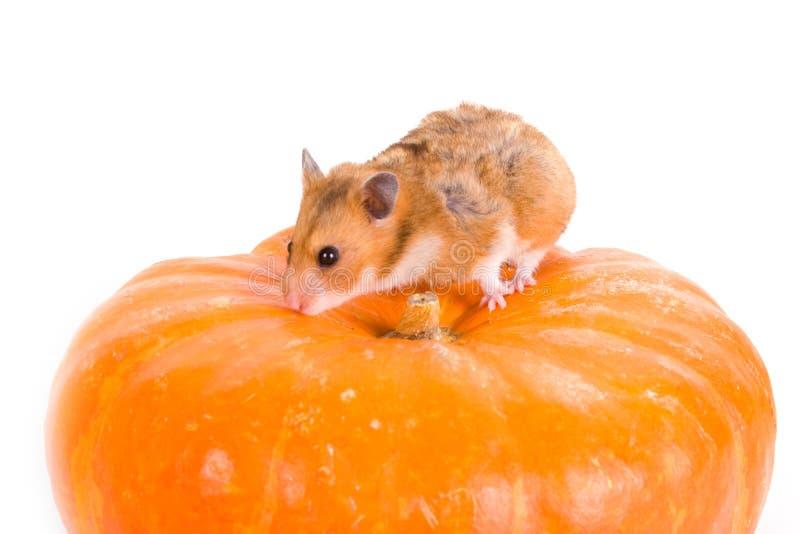 Roter Hamster auf einem Kürbis stockbild