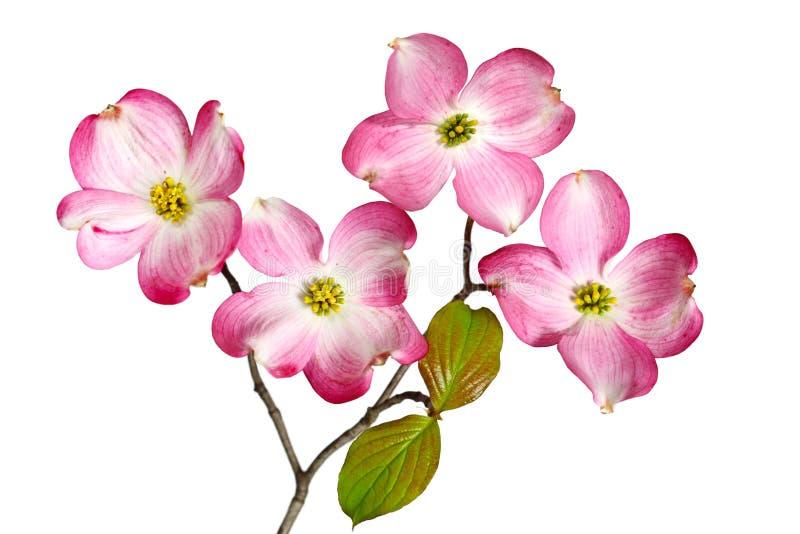 Roter Hartriegel-Blüte lizenzfreies stockfoto