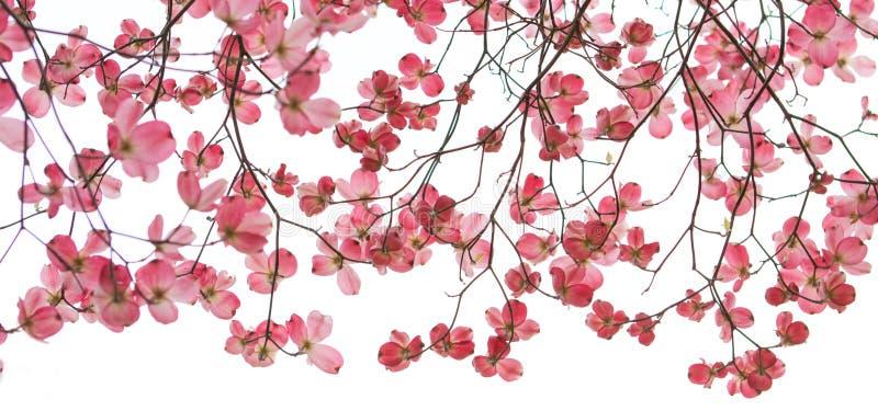 Roter Hartriegel-Fahne im Frühjahr stockfoto