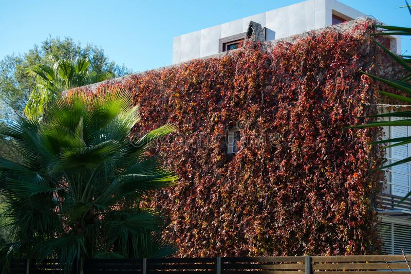 Roter Herbst der wilden Trauben, zur Hausmauer lizenzfreie stockfotos