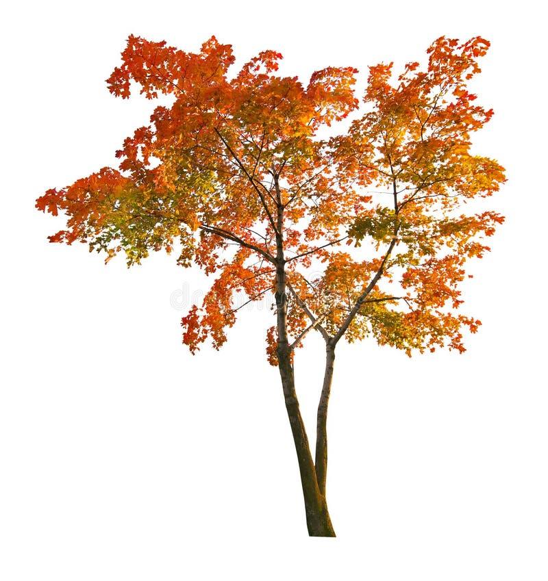 Roter Herbstahornholzbaum isoalted auf Weiß stockbilder