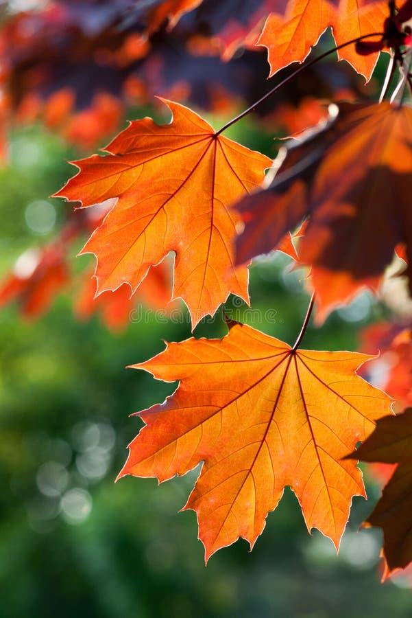 Roter Herbstlaub lizenzfreie stockfotos