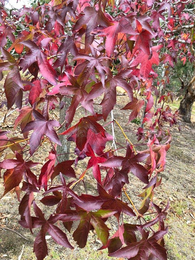 Roter Herbstlaub auf einer Niederlassung lizenzfreies stockbild