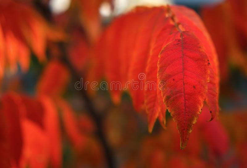 Roter Herbstlaub, sehr flacher Fokus lizenzfreie stockfotografie