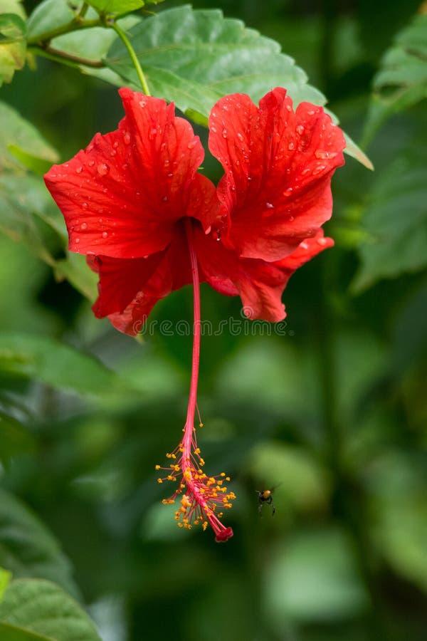 Roter Hibiscus lizenzfreies stockbild