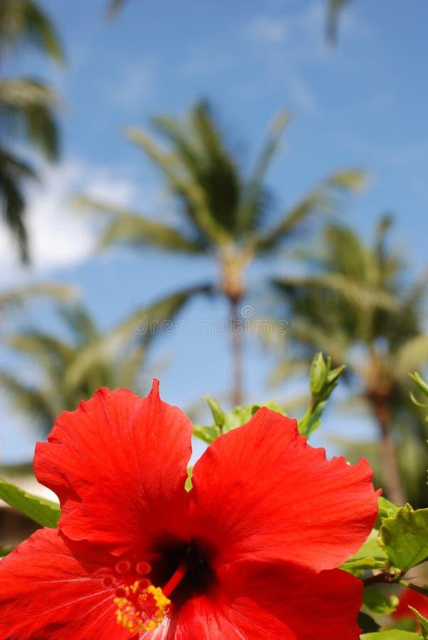 Roter Hibiscus stockfotografie