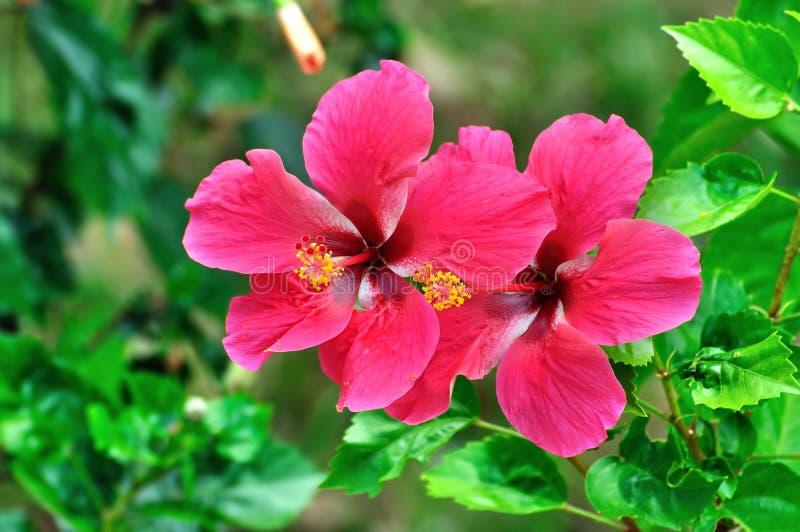 Roter Hibiscus stockfoto