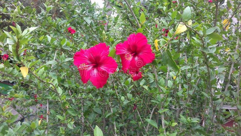 Roter Hibiscus stockbilder