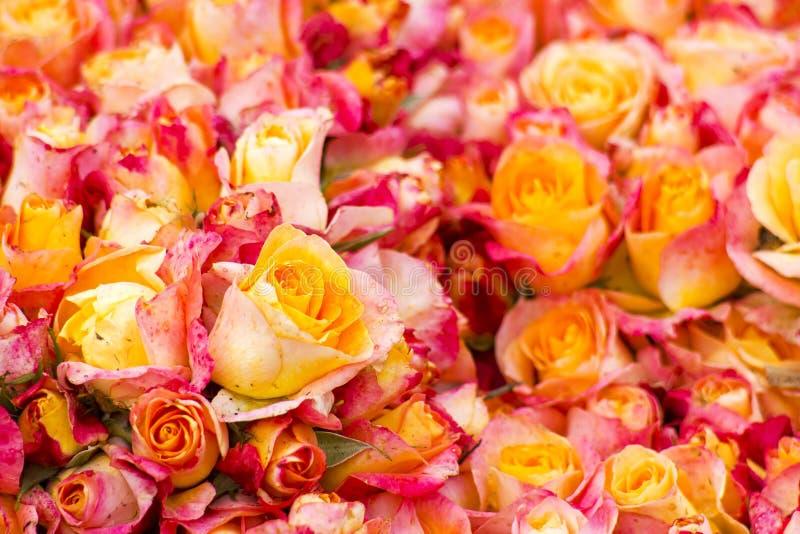 Roter Hintergrund der gelben Rosen der Anzeige stockfotos