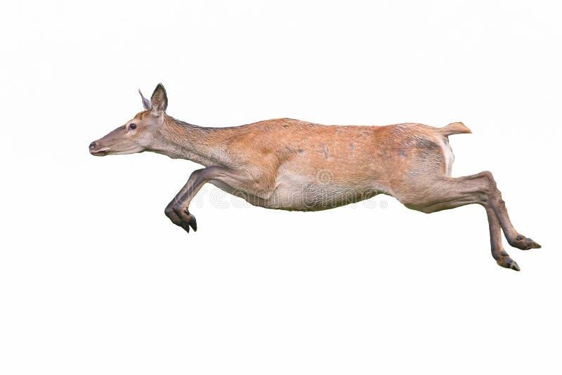Roter Hirsch, Cervus elaphus, Hinter, der dynamisch isoliert auf weißem Hintergrund läuft stockfoto