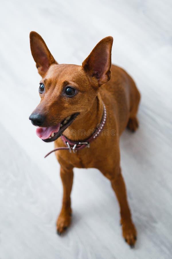 Roter Hund, der auf dem Boden sitzt stockfoto