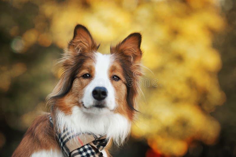 Roter Hund, der einen Schal im Herbst trägt lizenzfreies stockbild