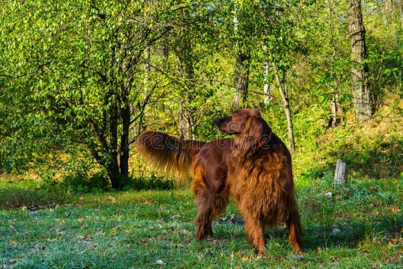 Roter Hund des Irischen Setters im grünen Wald lizenzfreie stockfotos