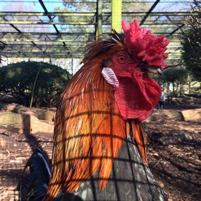 Roter junger Hahn in einem Vogelhaus stockfoto
