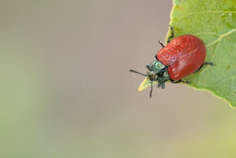 Roter Käfer auf grünem Blatt lizenzfreie stockfotos