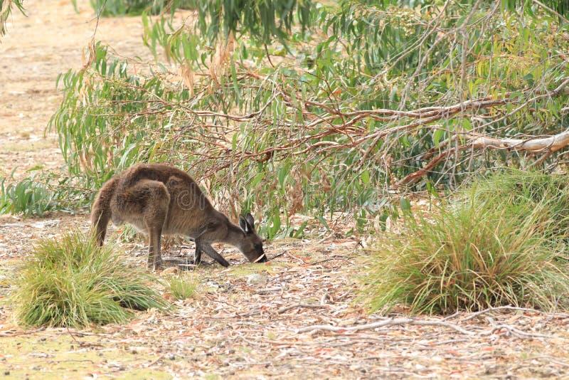 Roter Känguru, Macropus rufus, essend stockfotografie