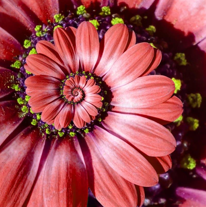 Roter Kamillengänseblümchenblumenspiralenzusammenfassung Fractaleffekt-Musterhintergrund Roter surrealer Blumenspiralenzusammenfa lizenzfreie stockbilder