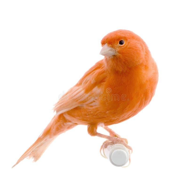 Roter Kanarienvogel auf seiner Stange stockfotografie