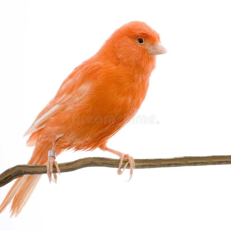 Roter Kanarienvogel auf seiner Stange lizenzfreies stockbild