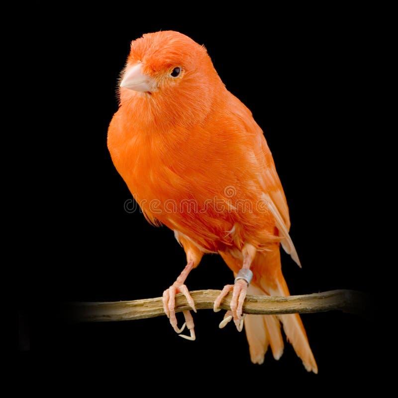 Roter Kanarienvogel auf seiner Stange stockfoto