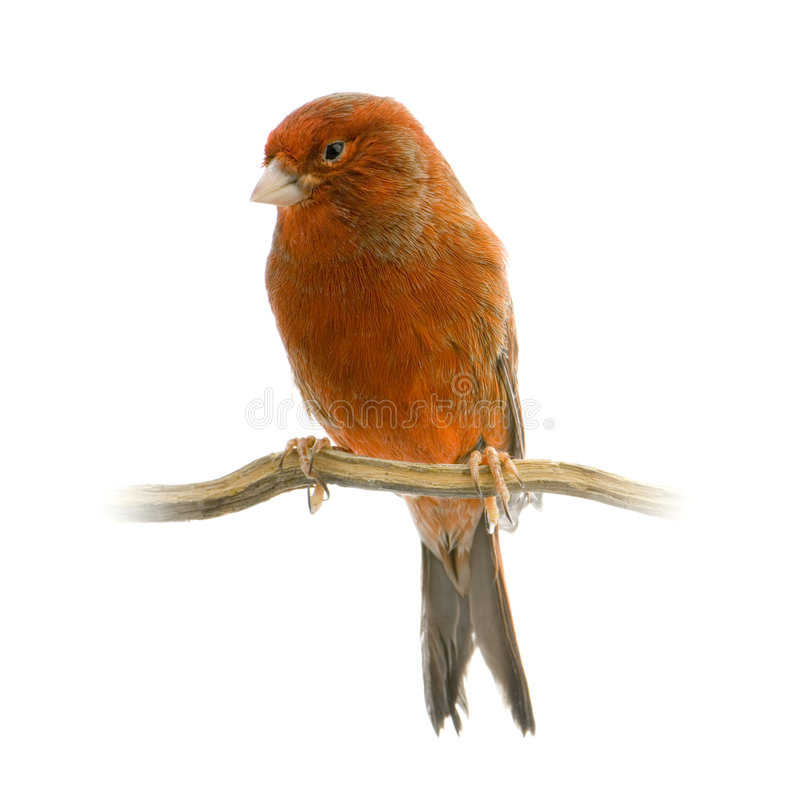 Roter Kanarienvogel auf seiner Stange lizenzfreie stockfotografie