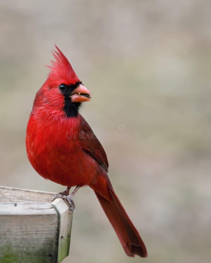 Roter Kardinal, der einen Startwert für Zufallsgenerator isst lizenzfreies stockbild