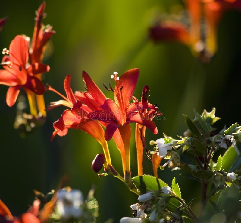 Roter Kardinalsblume-Rückseiten-Lit stockfoto