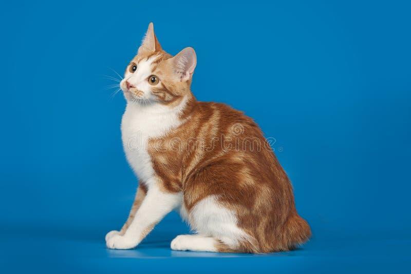 Roter, kleiner Kätzchen Bobtail auf blauem Hintergrund lizenzfreie stockfotografie