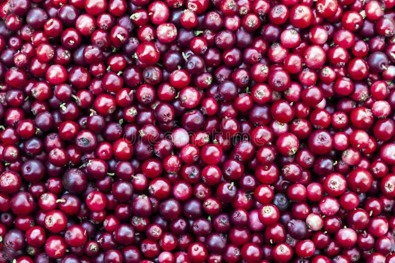 Roter Lingonberryhintergrund lizenzfreie stockfotografie