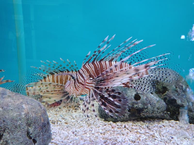 Roter Lionfish, Pterois volitans, Scorpaenidae stockbild