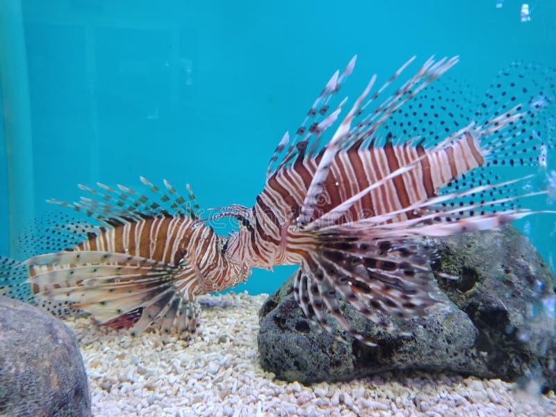 Roter Lionfish, Pterois volitans, Scorpaenidae 1 lizenzfreie stockbilder