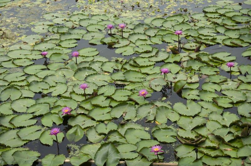 Roter Lotos oder Seerose im Teich an rotem sich hin- und herbewegendem Markt Lotuss stockfotografie