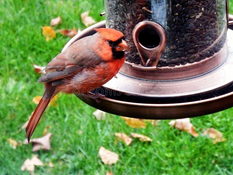 Roter männlicher hauptsächlicher Vogel auf einer Vogelzufuhr stockfotos