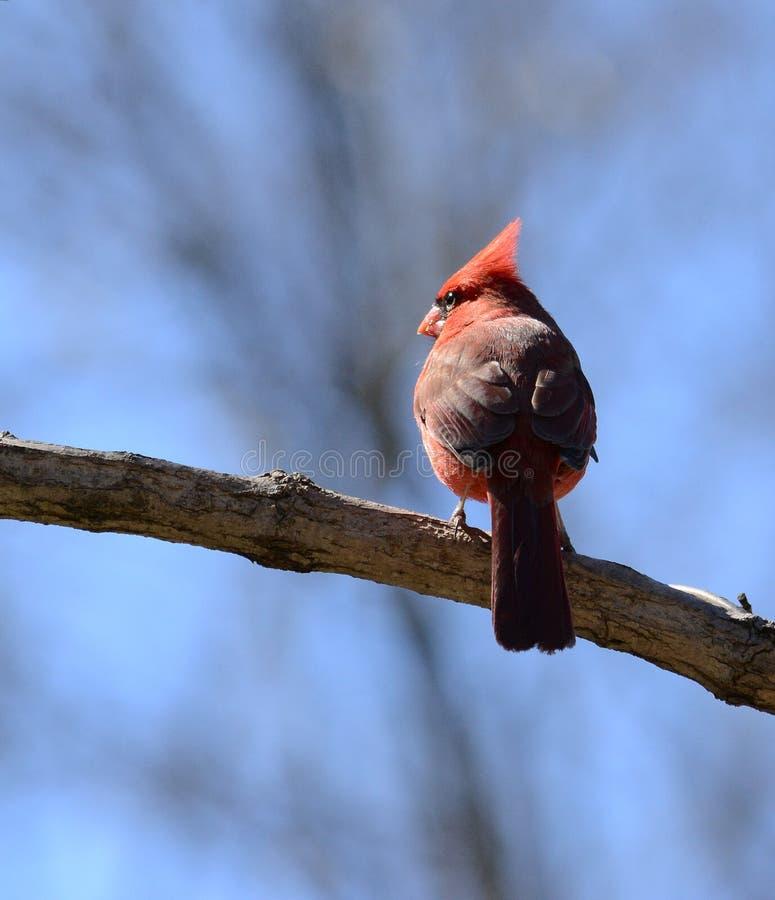 Roter männlicher Kardinal auf einem Baumast stockbild