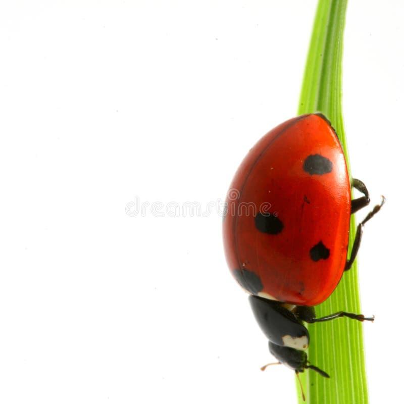 Roter Marienkäfer lizenzfreies stockbild