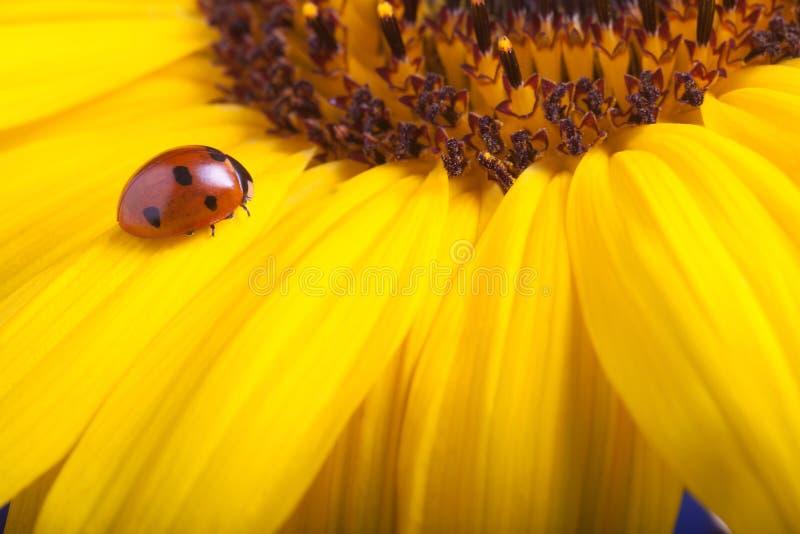 Roter Marienkäfer auf Sonnenblumenblume, Marienkäfer kriecht auf Stamm des Planes lizenzfreie stockfotos