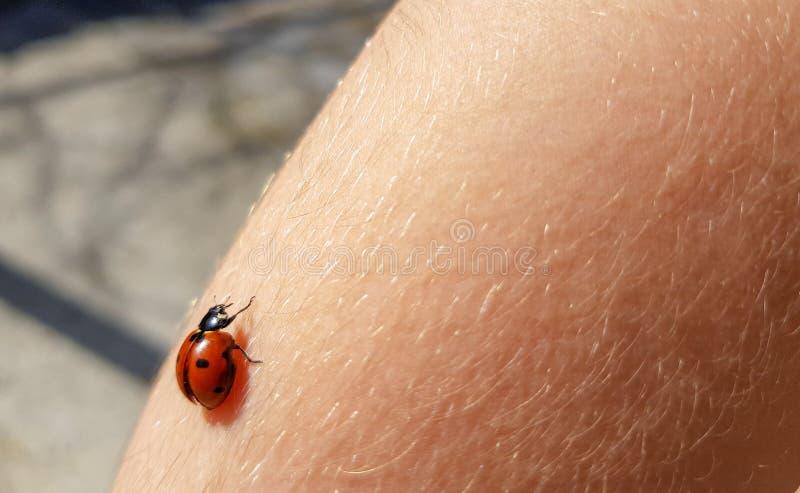 Roter Marienkäfer mit schwarzen Flecken auf einem child& x27; s-Arm stockfotos