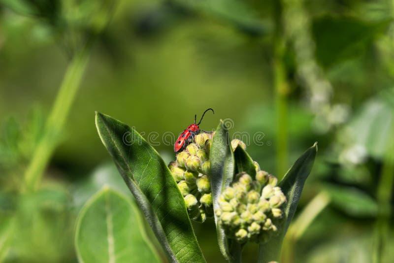 Roter Milkweed-Käfer (Tetroden tetrophthalmus) lizenzfreies stockfoto