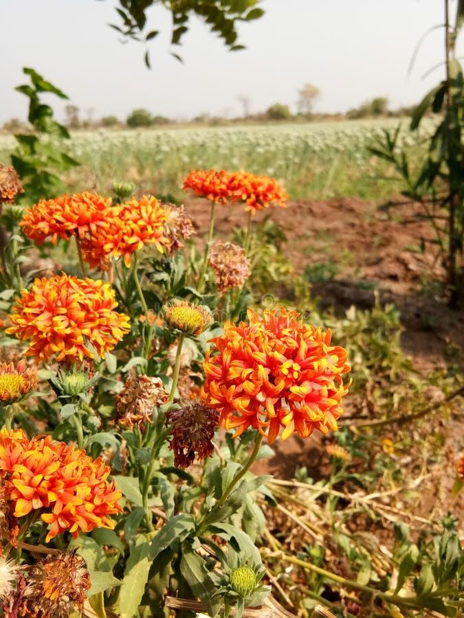 Roter orange Jasmin stockbilder