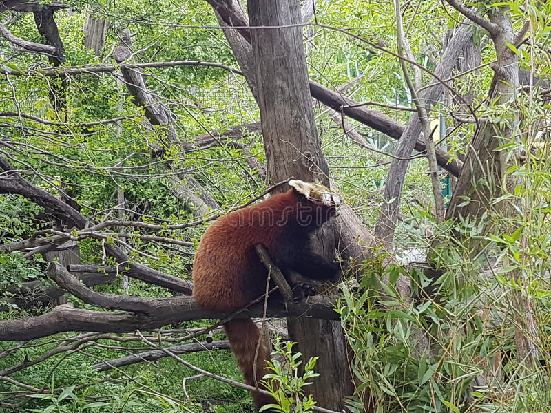 Roter Panda stockfotos
