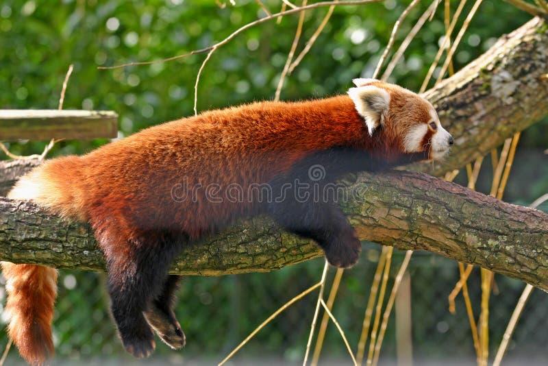 Roter Panda auf einem Zweig stockfotografie