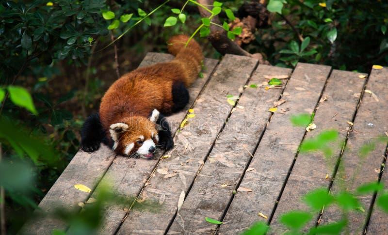 Roter Panda in Chengdu China stockfoto