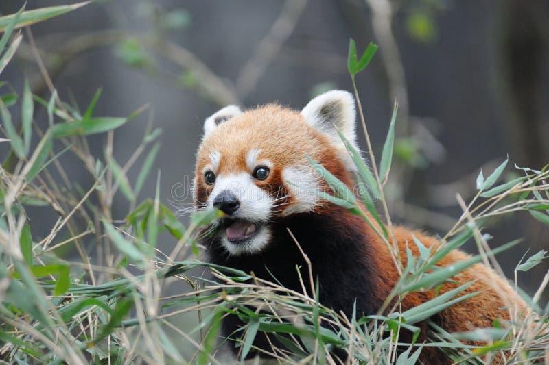 Roter Panda in Darjeeling, Indien lizenzfreie stockfotografie