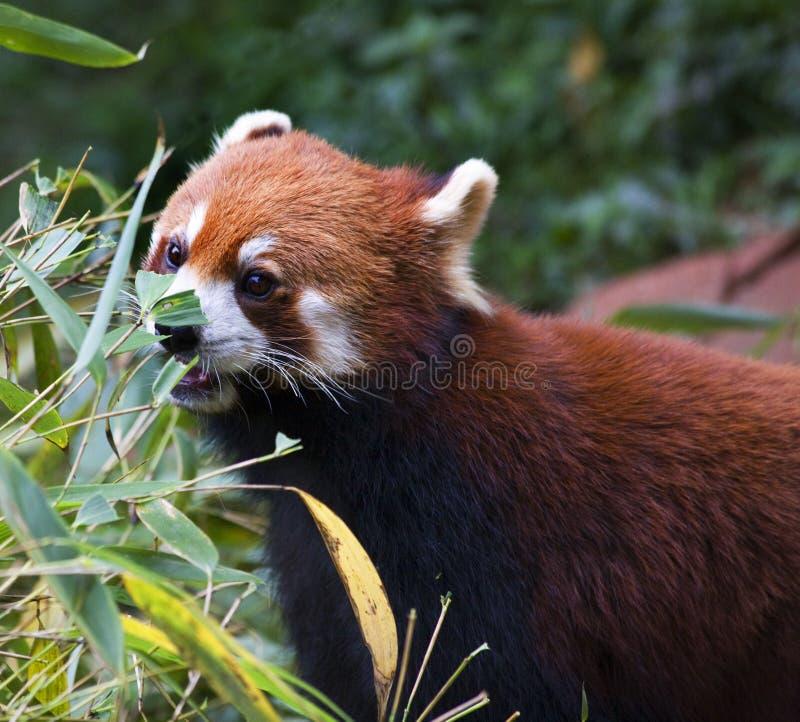 Roter Panda, der Bambuschina isst stockfotografie
