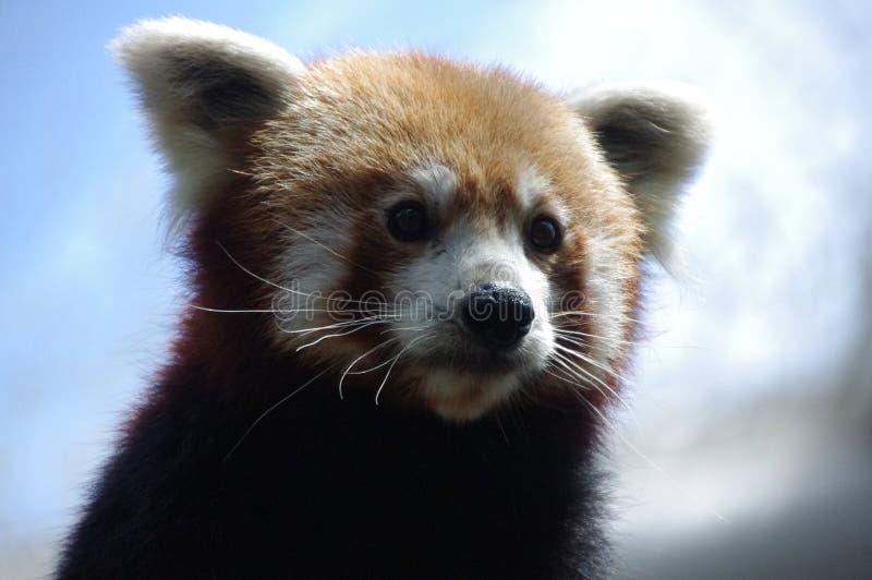 Roter Panda, entzückend, nachdenklich, nett lizenzfreie stockfotos